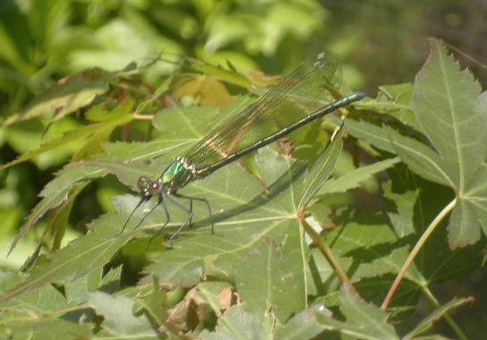 蜻蛉(とんぼ)